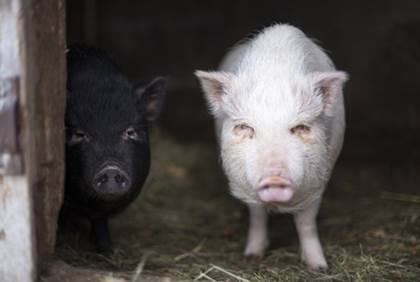 British Press Bans 'Pigs' to not Offend Muslims