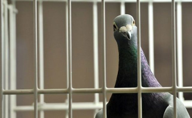 'Stop the pigeon': Egypt police sends bird to criminal investigation department
